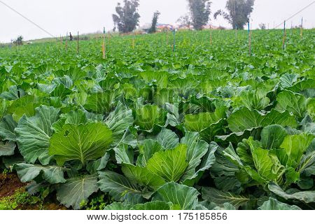 Green cabbage farm in high mountain,nature, landscape
