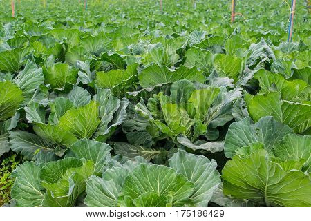 Green cabbage farm in high mountain, landscape