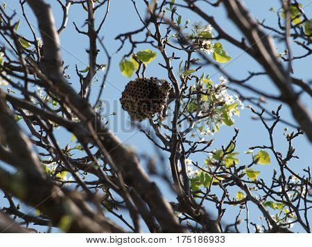 A new wasp nest already this spring while a fact of nature is a hazard to tree trimmers out doing early spring pruning. This nest has a active wasp working on it.