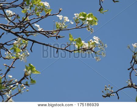 Tree blossoms against a blue sky. The flowering trees are a bit behind the red buds in blooms this season.