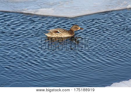 Mallard hen swimming in open water between two areas of ice.