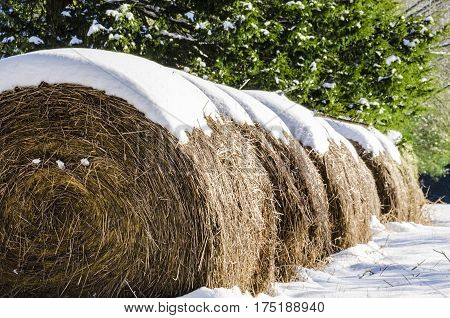 Rolls of Hay Covered in Winter Snow