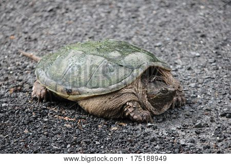 Snapping turtle (Chelydra serpentina) on the side of  a country roadway. They are found throughout most of the southern part of Ontario and as far north as Thunder Bay