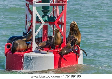 Sea lions resting on a red and white buoy in Oxnard, CA