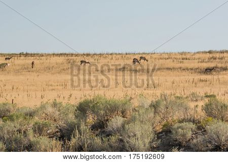 Antelope grazing in grasslands near Great Salt Lake in Utah, USA.