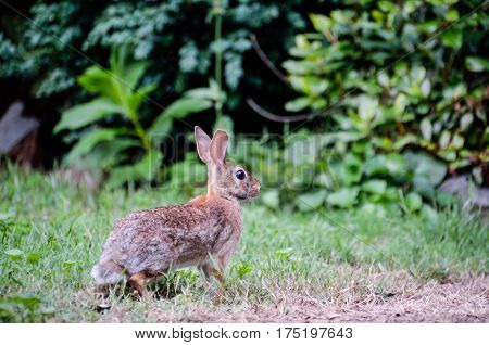 Side profile portrait of cute wild common cottontail rabbit with big ears and green plants