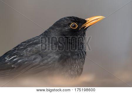 Portrait of the Common blackbird (Turdus merula).