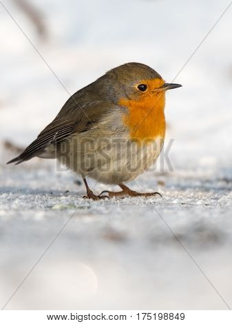 Bird in winter - European robin (Erithacus rubecula).