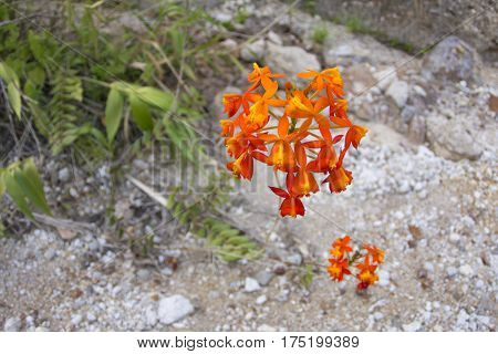 Beautiful orange flower cluster of Epidendrum ibaguense crucifix orchid growing in natural environment in Chiapas Mexico