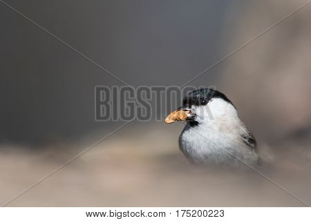 The marsh tit (Poecile palustris) with a nut in his beak.