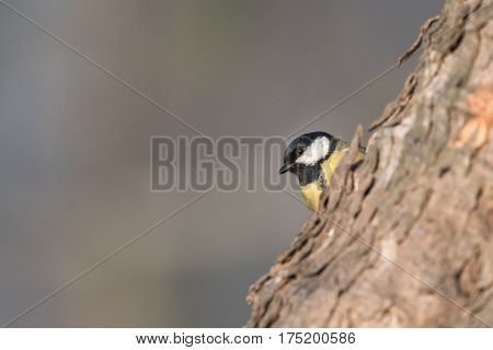 Bird - Great Tit (Parus major) on grey background. Winter time.