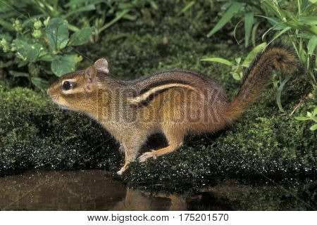 An Eastern Chipmunk at a small pond in New Jersey