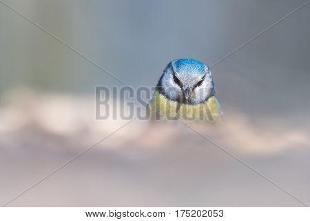 Portrait of The Eurasian Blue Tit (Parus caeruleus) in a winter time.