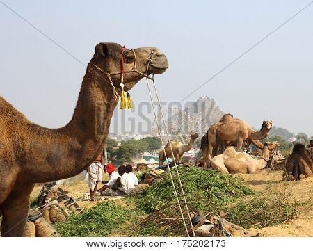 Pushkar Camel Fair - camels during festival in Pushkar