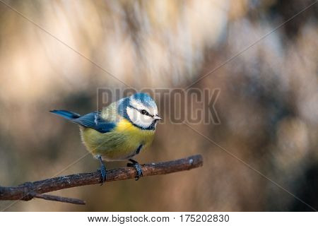 The Eurasian Blue Tit (Parus caeruleus) pearched on a small tree branch.