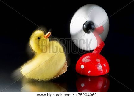Baby ducky being blown away by red fan.