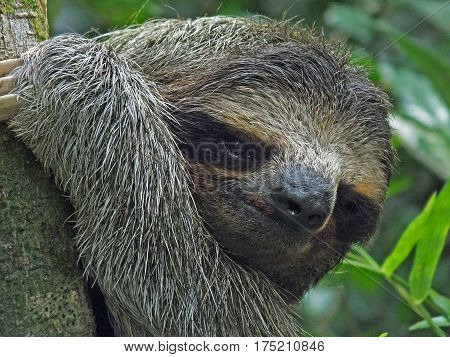 Head closeup of a sloth hanging in a tree