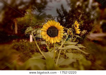sunflowers front view. three sunflowers in jungle.helianthus petiolaris