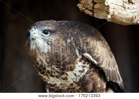 A close-up of a common buzzard looking around