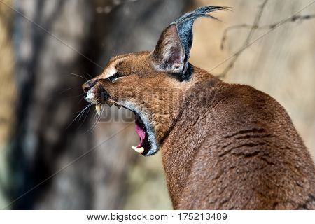 A close-up of the head of a caracal. (yawning caracal)