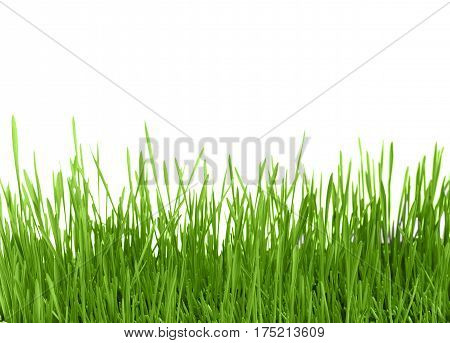 Fresh green grass sprout of wheat isolated on white background. Close up.
