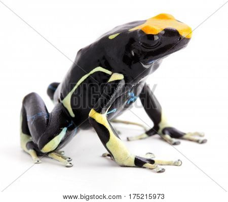 Yellow back poison arrow frog, Dendrobates tinctorius. A poisonous animal from the Amazon rain forest. Isolated on white background.