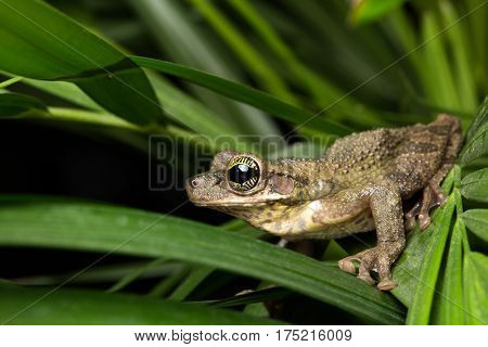 Osteocephalus taurinus a tree frog from the Amazon rain forest