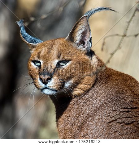 A close-up of the head of a caracal.