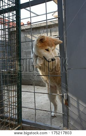 Cute Akita Inu puppy attempting to get out of the cage