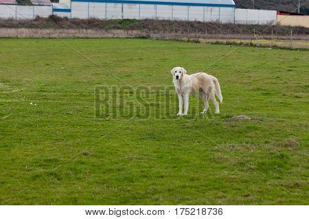 Big white Labrador dog guarding the farm