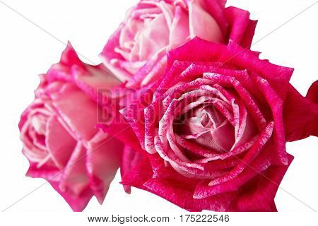 beautiful bouquet of three pink rose flowers isolated on white background