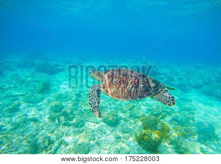 Sea turtle in water. Snorkeling in tropical lagoon. Wild turtle swimming underwater in blue tropical sea. Underwater photo with tortoise. Sea turtle in wild nature. Exotic island seashore environment