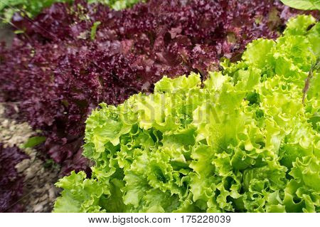 Green and red lettuce leaves grown in farm close up