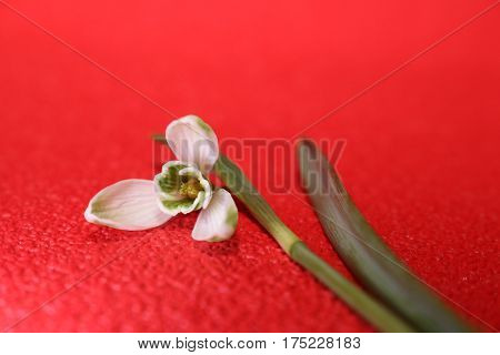 Snowdrops In Spring Isolated On Red Background