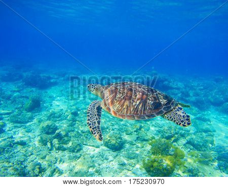 Wild sea turtle in water. Snorkeling in tropic lagoon. Oceanic animal in blue tropical sea. Rare marine species. Undersea photo with tortoise. Sea turtle in natural environment. Exotic island seashore