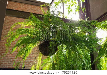Giant Boston Fern Hanging Pot