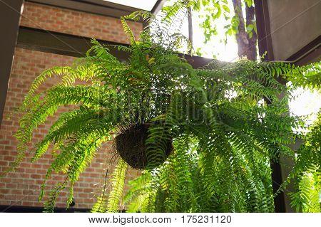 Giant Boston Fern Hanging Pot