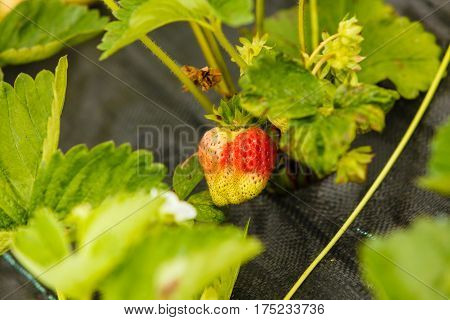 Gardening early harvesting concept. Closeup of green ripening strawberries with leafs on bush
