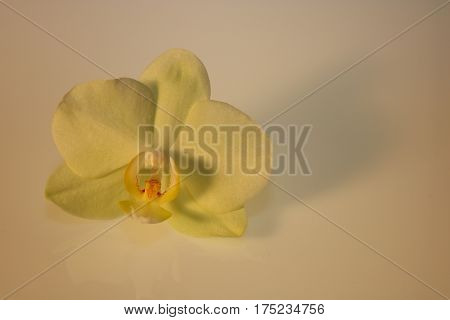 Orchid Blossom Isolated On White Background
