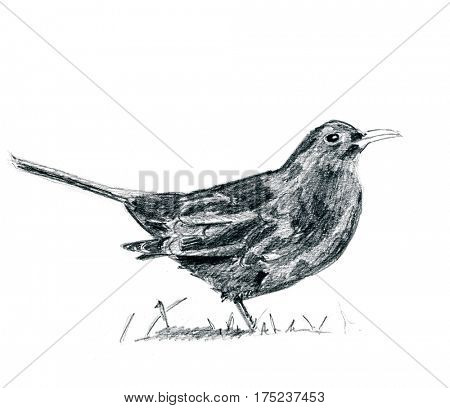 Pencil drawing blackbird isolated over white background