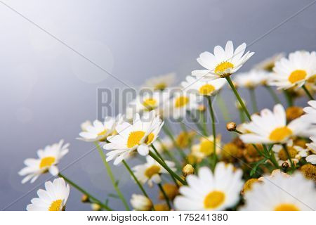 Daisy flowers background.Macro of beautiful white daisies flowers isolated on gray background.