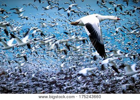 Flock of white geese flying during migration