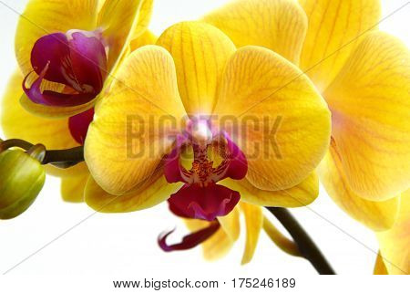 close up from Yellow Phalaenopsis Orchids on white background
