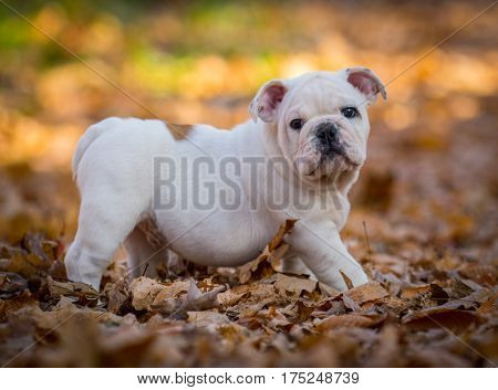 bulldog puppy playing outside in the autumn leaves