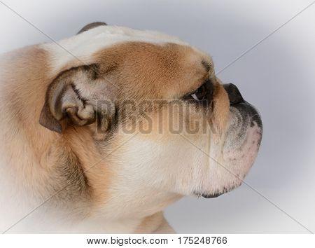 fawn colored female bulldog portrait on grey background