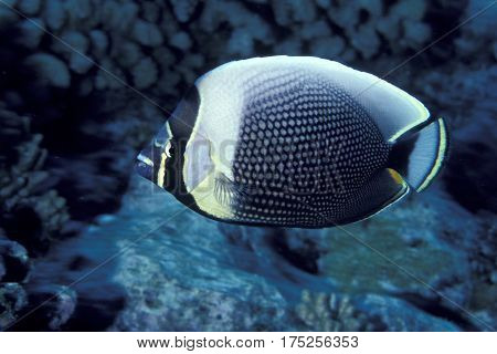 A Reticulated Butterflyfish, Chaetodon reticulatus on a coral reef in the Kwajalein Atoll in the Pacific
