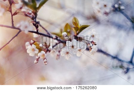 White flowers of cherry in a sunlight in the spring.