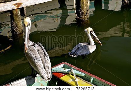 Pelicans are sharing space on an old row boat docked at a coastal wharf.