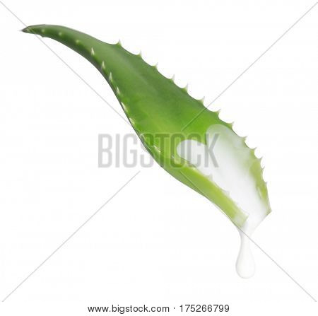 Fresh leaf of aloe vera. isolated on white background