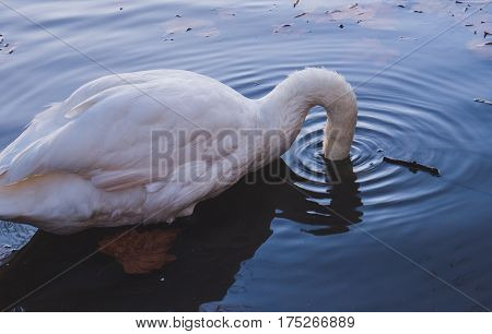 Picture of a swan submerging its head into the water of Kingston river.